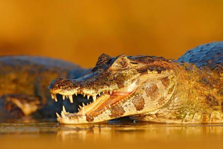 Open crocodile muzzle with big teeth