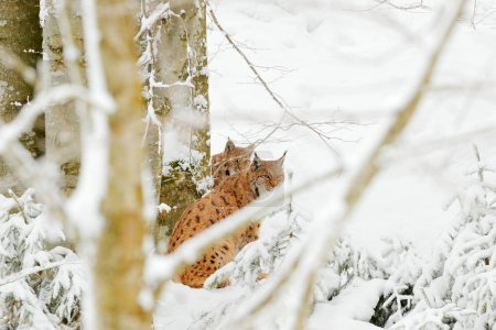 Lynx in snow forest. Eurasian Lynx in winter. Wildlife scene from Czech nature. Snowy cat in nature habitat. Mother with young, wild cat family. Lynx in nature wildlife habitat. Two cat, trees snow.
