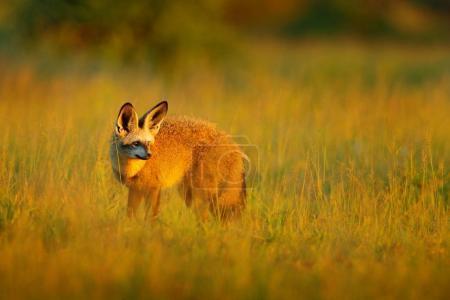 Bat-eared fox  from Africa