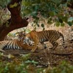 Постер, плакат: Tigers lying under green tree