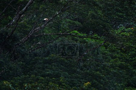 King vulture in dark green forest