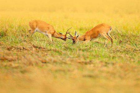 Brazil deer fighting