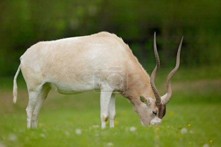 Addax during rainy season in Namibia