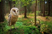 Barn owl sitting on green stone