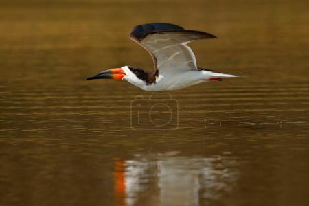 Black skimmer flying over river