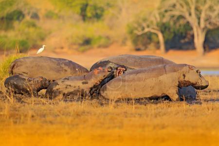 young hippopotamuses in nature habitat