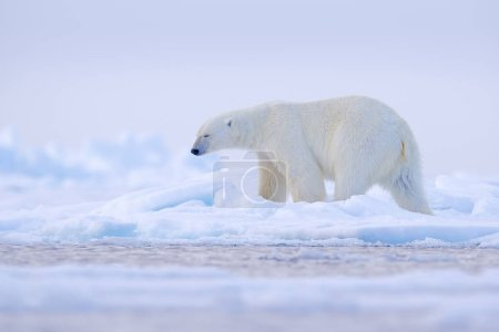 Photo for Polar bear on drift ice edge with snow and water in Norway sea. White animal in the nature habitat, Svalbard, Europe. Wildlife scene from nature. - Royalty Free Image