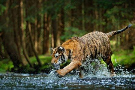 Амурский тигр бежит в воде, Сибирь. Опасное животное, Тайга, Россия. Животное в зеленом лесном ручье. Сибирский тигр.