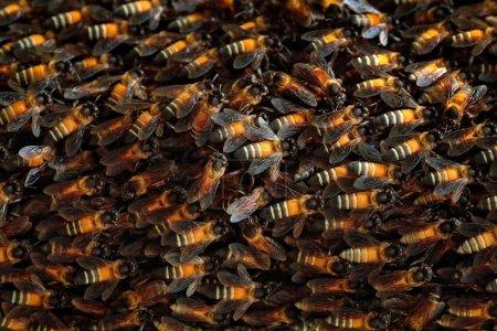 Foto de Grupo de colonias de abejas de Sri Lanka. Hermoso insecto en la naturaleza salvaje. Abeja de Ceilán miel de la naturaleza . - Imagen libre de derechos