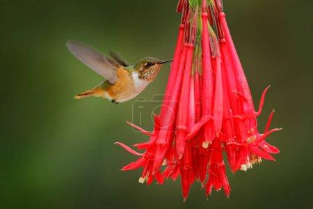 Photo pour Colibri en fleurs fleuries. Colibri scintillant, Selasphorus scintilla, petit oiseau dans l'habitat naturel. Le plus petit oiseau du Costa Rica volant à côté de la belle fleur orange, forêt tropicale. - image libre de droit