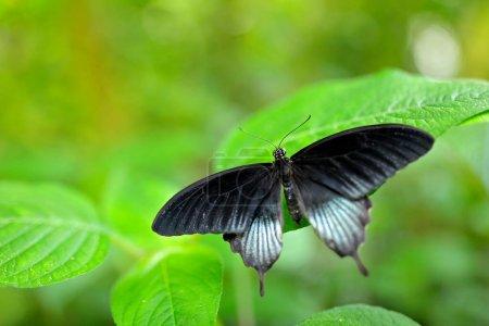 Photo pour Beau papillon noir, Grand Mormon, Papilio memnon, reposant sur la branche verte, insecte dans l'habitat naturel, Inde. Scène animalière de la nature . - image libre de droit