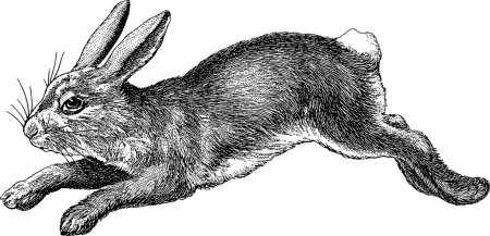 Photo for Old book illustration rabbit - Royalty Free Image
