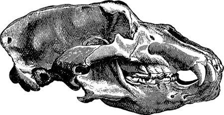 Vintage image bear skull