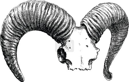 Vintage image sheep skull