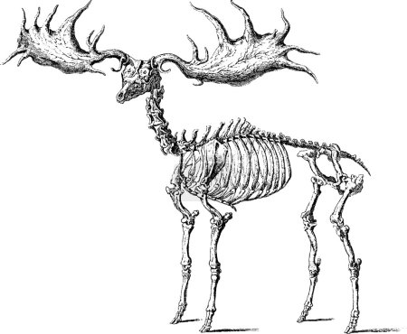 Vintage image moose skeleton