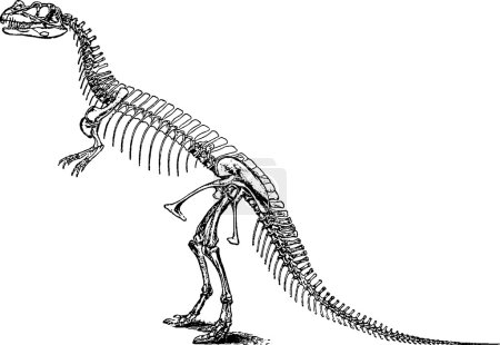 Vintage illustration tyrannosaurus skeleton