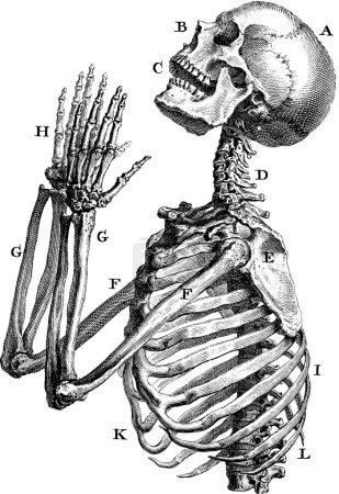 Vintage image human skeleton