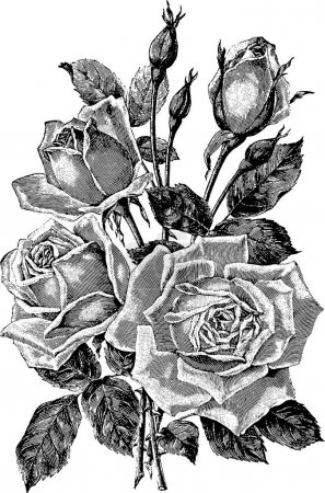 Vintage picture rose