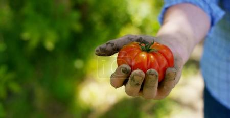 The farmer is holding a biological product of tomato, hands and tomato soiled with soil. Concept: biology, bio products, bio ecology, grow vegetables, vegetarians, natural clean and fresh product.
