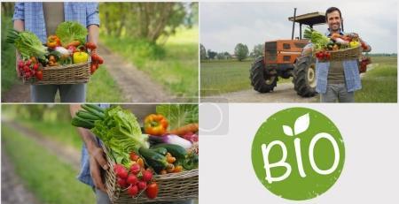 Collage aus 4 Fotos Bioprodukte, ein Korb mit Gemüse in den Händen eines Bauern, im Hintergrund der Natur das Konzept der biologischen, Bio-Produkte, Bio-Ökologie, unabhängig angebaut, Vegetarier.