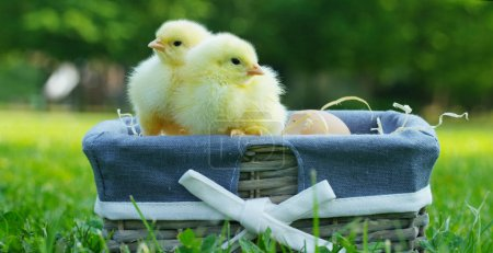 On a sunny day, little yellow chicks sitting in a basket, in the background of green grass and trees, concept: farming, ecology, bio, easter, love.