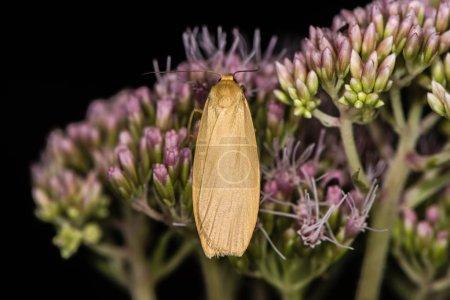 Orange footman moth (Eilema sororcula) on flower