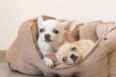 """Постер, картина, фотообои """"Две милые, милые и красивые внутренние породы млекопитающих чихуахуа щенки друзей лежа, расслабляясь в кровать собаки. Домашние животные, отдых, спать вместе. Жалкие и эмоциональный портрет. Отец и дочь фото."""""""