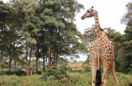 View behind of Rothschild giraffe in Giraffe center