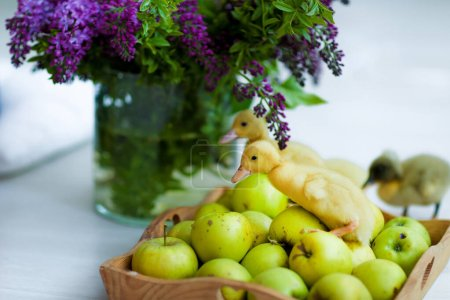 Photo for Animals small live ducks close up near apples in a photo Studio. - Royalty Free Image