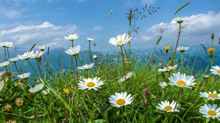 white daisy  in the Alpine mountains