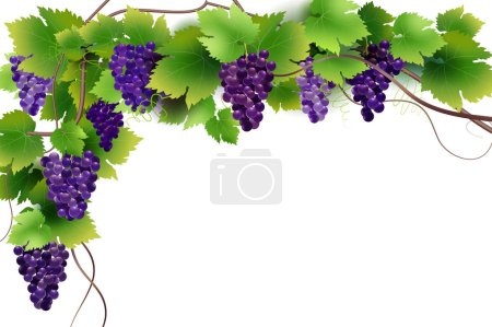 background of the grape vine for design