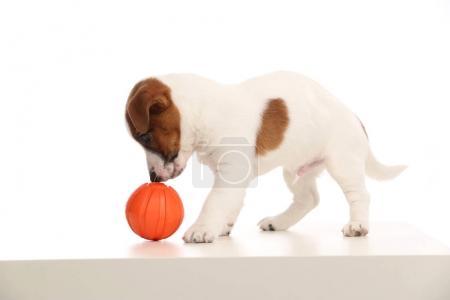 Photo pour Animaux populaires, chiots Jack Russell, races de chiens britanniques, petits chiens, chiens de compagnie - image libre de droit