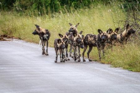 Photo pour Meute de chiens sauvages africains sur la route dans le Kruger National Park, Afrique du Sud. - image libre de droit