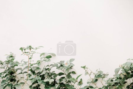 Photo for Green leaf bush near beige wall. Minimalistic floral background. - Royalty Free Image