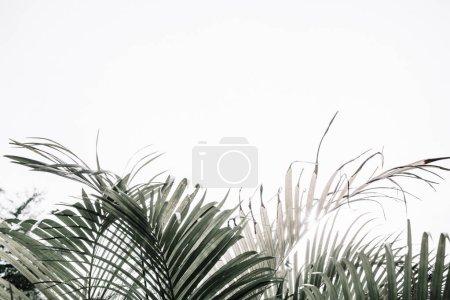 Photo pour Rameaux de palmiers tropicaux pâles près du mur beige. Fond floral minimaliste . - image libre de droit