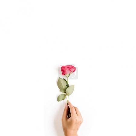 Photo for Beautiful red rose flower in girl's hand isolated on white background. Flat lay, top view. Mothers day or valentines day background. - Royalty Free Image
