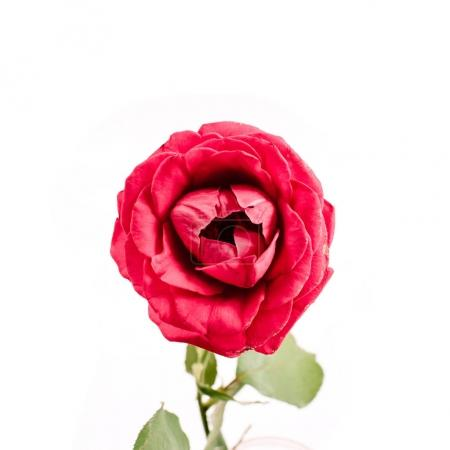 Photo for Beautiful red rose flower isolated on white background. Flat lay, top view. Mothers day or valentines day background. - Royalty Free Image