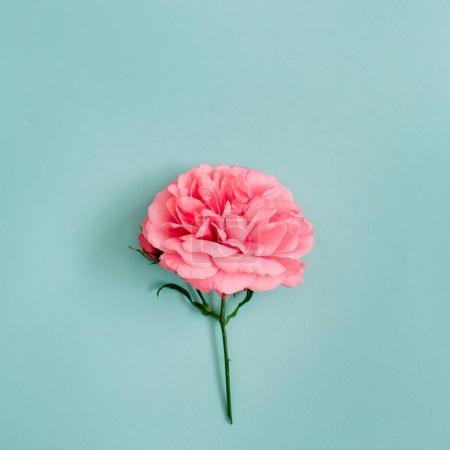 Foto de Hermosa flor de color de rosa color rosa sobre fondo azul. Vista plana endecha, superior. - Imagen libre de derechos