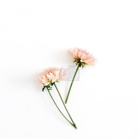 Foto de Flores de crisantemo hermosa sobre fondo blanco. Vista plana endecha, superior. Composición de flor. - Imagen libre de derechos