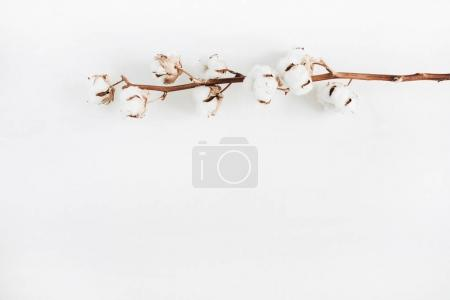 Cotton branch on white background