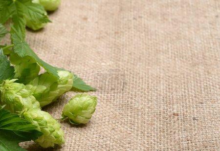 fresh hop twigs