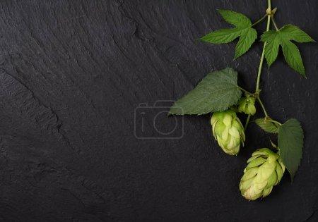 fresh hop twig