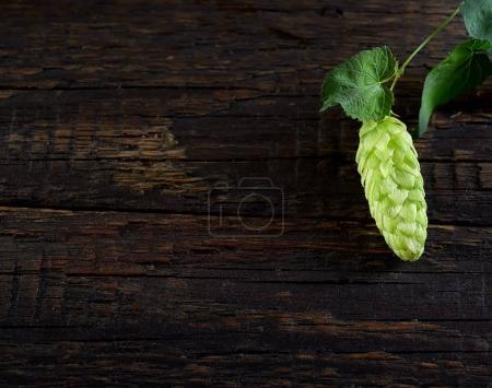 fresh hop twig with one cone