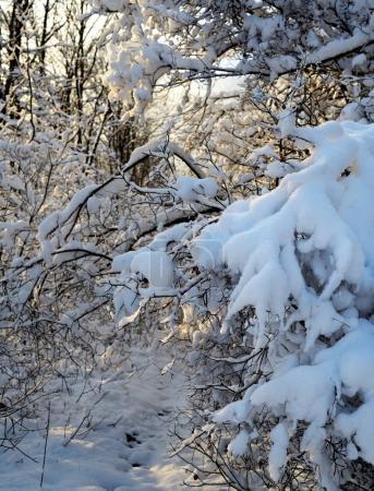 Photo pour Branches congelées couvertes de neige après blizzard - image libre de droit