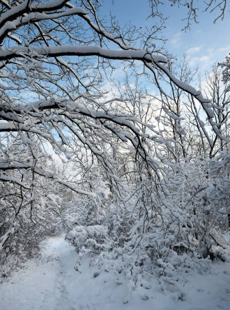 Frozen branches covered by snow after blizzard