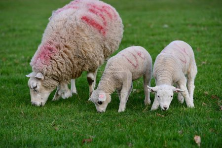 Cute white lambs with sheep grazing green grass on pasture