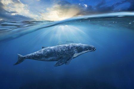 big grey whale in ocean