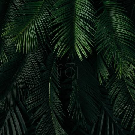 Photo for Creative nature layout made of tropical dark green leaves. Summer concept - Royalty Free Image