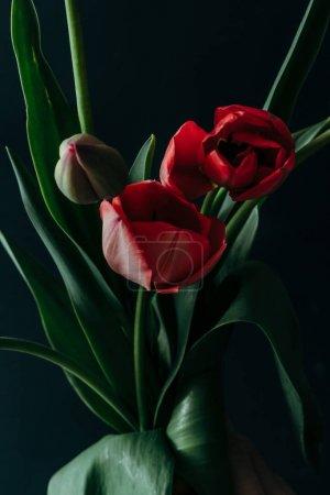 Foto de Estilo minimalista naturaleza muerta con flores de tulipán en fondo oscuro. - Imagen libre de derechos