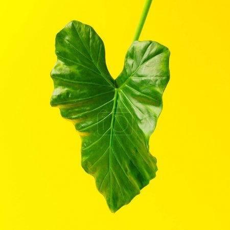 Green tropical leaf on yellow background. Minimal summer exotic concept.